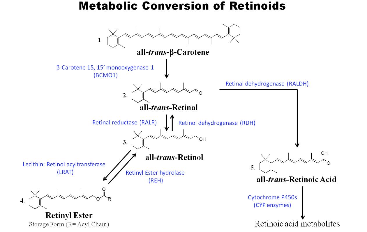 Retinsäure Retinol Retinal Umwandlung