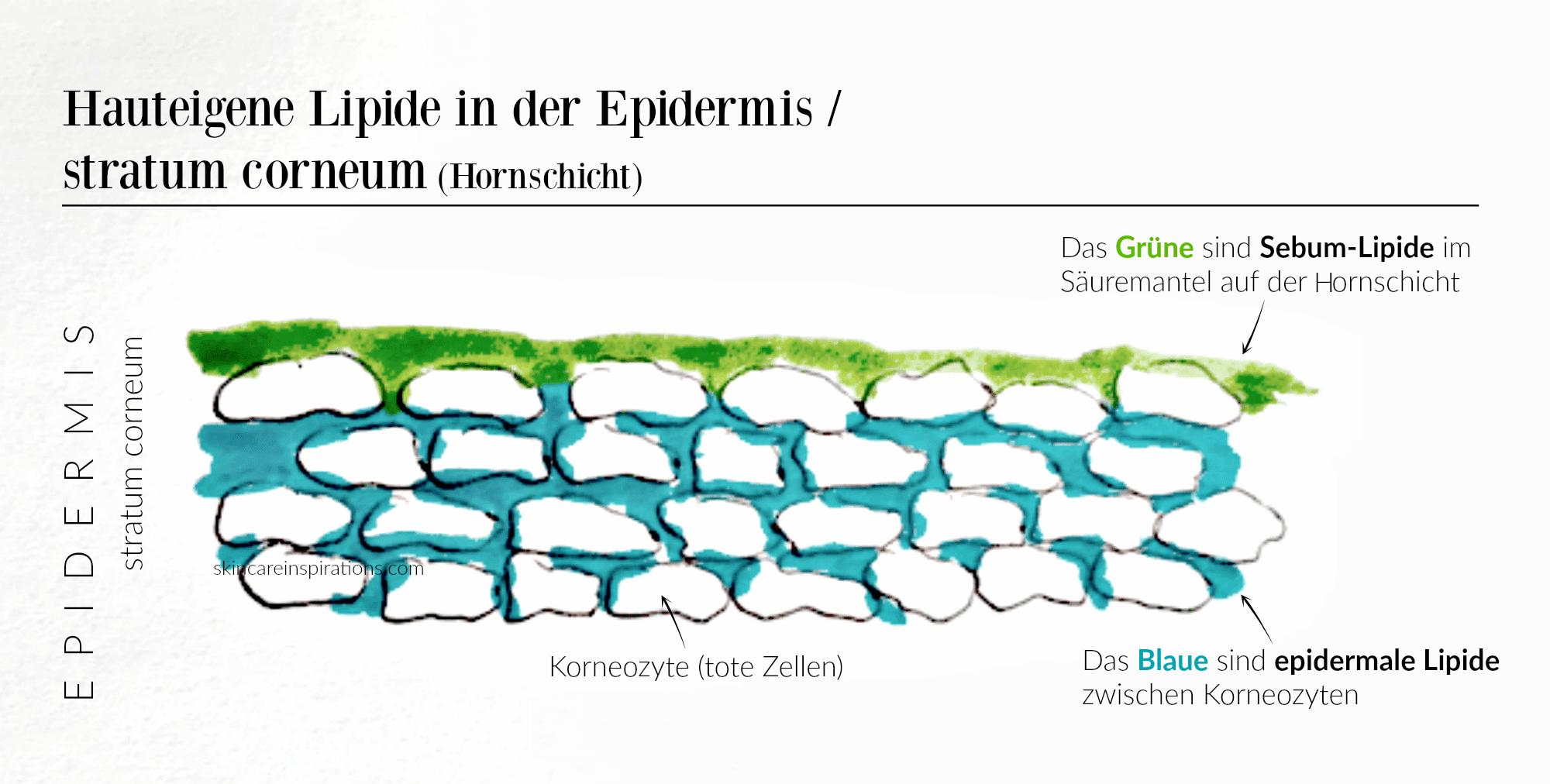 Hauteigene Lipide Hornschicht Feuchtigkeit.png