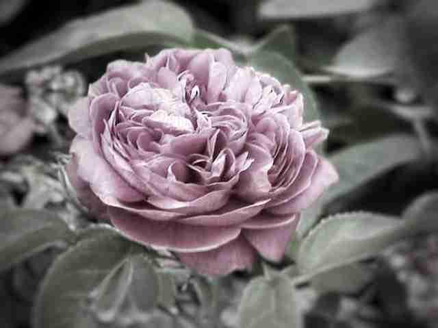 Rosenwasser Haut